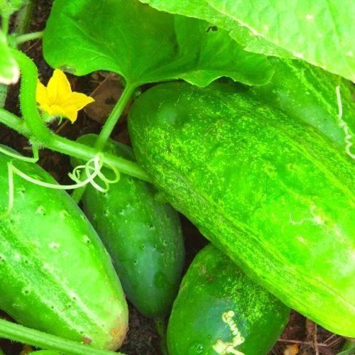 Image Cucumber